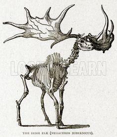 elk skeleton - Google Search