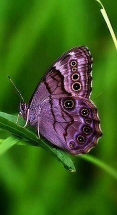 My grandmother always loved the color purple! Purple Butterfly