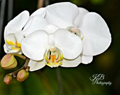 Tiger Orchid Still Photography, Orchids, Rose, Flowers, Plants, Pink, Florals, Lilies, Roses