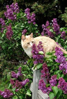 kitty in the lilac bushes