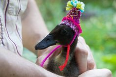 Indian runner duck wearing a hat