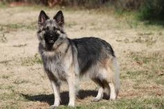 Giant Dog Breeds are some of the world's largest dogs that also make wonderful family pets. Shiloh Shepherd, Shepherd Puppies, Worlds Largest Dog, Dog Breed Info, Giant Dog Breeds, Schaefer, Alaskan Malamute, Beautiful Dogs, Large Dogs