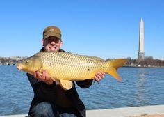 A nice carp in Washington DC near the Jefferson Memorial. A nice carp in Washington DC near the Jefferson Memorial. Carp Fishing Videos, Carp Fishing Rigs, Fishing Knots, Trout Fishing, Common Carp, Jefferson Memorial, Fishing Humor, Washington Dc, Nice
