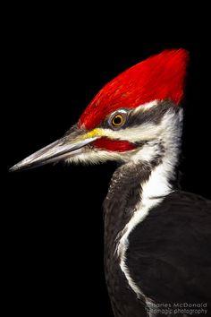 Pileated Woodpecker                                                                                                                                                      Más
