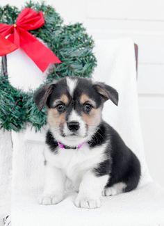 👋🧡🌞Meet these #WelshCorgiPembroke puppies they are full of energy and personality. They love cuddles and in return you will be receiving lots of #puppykisses. The #WelshCorgi is a very #affectionatepuppy. #Charming #PinterestPuppies #PuppiesOfPinterest #Puppy #Puppies #Pups #Pup #Funloving #Sweet #PuppyLove #Cute #Cuddly #Adorable #ForTheLoveOfADog #MansBestFriend #Animals #Dog #Pet #Pets #ChildrenFriendly #PuppyandChildren #ChildandPuppy #LancasterPuppies www.LancasterPuppies.com