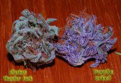 Alaskan Thunder Fuck & Purple Urkel   #medical #marijuana