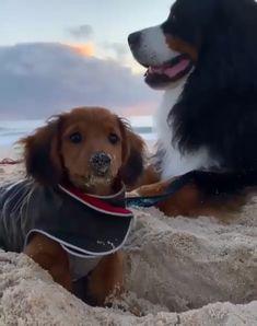 """Cute Dachshund - Dackel spielt im Sand am Strand """" Dackel spielt im Sand am Strand The Effective Pictures We Offer - Funny Dachshund, Dachshund Puppies, Cute Dogs And Puppies, Cocker Spaniel Puppies, Cute Dogs Breeds, Daschund, Doggies, Cute Funny Dogs, Cute Funny Animals"""