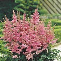 Astilbe Astary Pink
