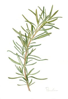 Vintage French Soul ~ Drawing a Fine Line: Parsley, Sage, Rosemary and Thyme Botanical Drawings, Botanical Prints, Rosemary Tattoo, Watercolor Flowers, Watercolor Paintings, Watercolors, Herb Tattoo, Herbs Illustration, Herb Art