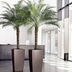 Phoenix roebelenii: Pygmy Date Palm Height: 8'-10' Spread: 5'-8' Zone: 10