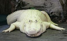 """With its piercing blue eyes and pale skin this Alligator is one of only 12 white alligators in the world.  The 500lb, 22-year-old male alligator, Bouya Blan, whose name means white fog, is kept at the Gatorland theme park in Florida.  He is one of four giant leucistic alligators kept at the park. """"These are not albino animals, they are what we call leucistic, which means they have a little bit of pigmentation around the mouth and a little touch on the tail and they have piercing blue eyes."""""""