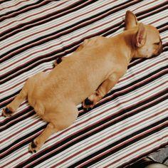 Tired French Bulldog Puppy