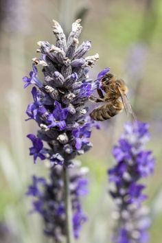 Herbs For Honeybees – Creating A Bee Friendly Herb Garden
