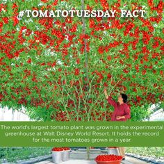 It's that time again - #TomatoTuesday! Here's a fun tomato fact: The world's largest tomato plant was grown in the experimental greenhouse at Walt Disney World Resort. Can you guess how many tomatoes it produced in the first 16 months after it was planted?