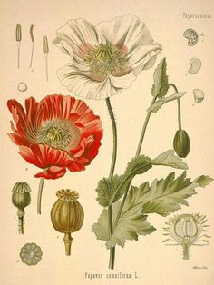 Vintage opium poppy print by Kohler. Papaver Somniferum Educational Chart Diagram Poster from Kohler Botanical. Educational Chart Diagram Poster from Kohlers Botanical. Flower garden r. Vintage Botanical Prints, Botanical Drawings, Antique Prints, Vintage Prints, Vintage Botanical Illustration, Flower Drawings, Vintage Art, Drawing Flowers, Old Illustrations