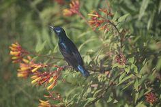 Purple Sunbird #birds #jimcorbett