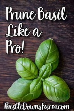 Basil is one of my favorite herbs to grow because it's versatile, tastes great, and will continue to produce for you as long as you prune it properly.  Take a look at this simple beginner's tutorial and learn how to prune your basil like a pro! While you're at it, check out more backyard gardening tips and tricks at ThistleDownsFarm.com | #basilcare #basil #gardeningdiy #backyardgarden Growing Herbs, Growing Vegetables, Pruning Basil, Organic Weed Control, Herbs For Health, Herbal Magic, Starting A Garden, Living Off The Land, Herbs Indoors