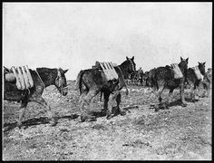 A line of mules carrying ammunition for field artillery. Each animal  has a pair of panniers, loaded with eight rounds of what appears to be  18-pound (8 kilos) shells for a field gun. There appears to be one man  for every pair of mules, the two animals being tethered together.Mules were better able to cope than many of the horses in the  extremely muddy conditions which can be seen in this photograph. National Library of Scotland via Flicker