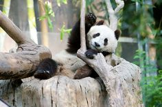 Giant panda Xiao Liwu tries to find a comfortable sleeping position at the San Diego Zoo