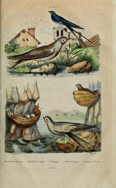 Dictionnaire Pittoresque d'Histoire Naturelle et des Phénomènes de la Nature, Vol. III, 1833-1840.