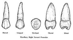 Premolars Dental, Anat, Teeth, School Stuff, Veneers Teeth, Tooth, Dental Health