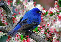 Beautiful Bird...An Indigo Bunting♥