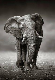 elefantes: Enfoque de elefante africano Loxodonta Africana desde el frente Parque Nacional de Etosha de Namibia Foto de archivo