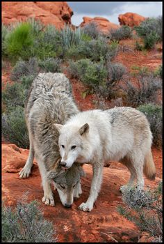 GREY WOLVES, BY E.J. PEIKER
