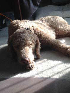 Sleeping standard poodle. Peaceful pooch. Oliver the standard poodle