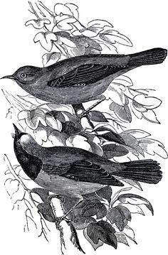 Public Domain Pair of Birds Illustration - The Graphics Fairy