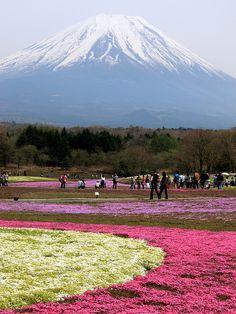 Shibazakura Flower Festival with Mount Fuji in the background, Japan (by Brian W Chu).