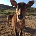 Aww!  Ungulates!  Why I love them; my  perspective as a zookeeper.