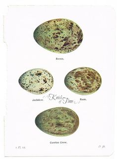 Free  Printable Bird Eggs Pages from http://knickoftimeinteriors.blogspot.com/2013/02/antique-graphics-wednesday-1920s-bird.html