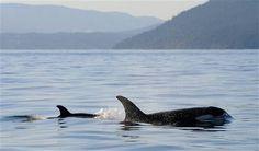 Una orca bebé nada al lado de su madre cerca de la isla Vancouver, en las islas del golfo, en Columbia Británica, el martes 30 de diciembre de 2014. Con este nacimiento, el número de orcas de este grupo en la zona se mantiene en 78 debido a la muerte en diciembre de una ejemplar preñada. CENTRO DE INVESTIGACION BALLENERA, KEN BALCOMB AP FOTO  http://www.elnuevoherald.com/noticias/estados-unidos/article5251137.html#storylink=cpy