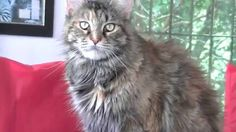 http://petclube.com.br/maine-coon-amicats.html Gigantes Maine Coon Ragdoll & Mini Tiger Bengal
