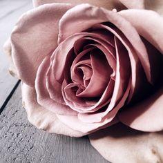 Amnesia Rose closeup by Georgie St Clair #5wayswithflowers | Painting Grace
