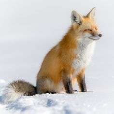 Red Fox by Stephen Wilkinson on 500px