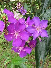 Tibouchina granulosa, Flor-de-quaresma, Quaresmeira-roxa