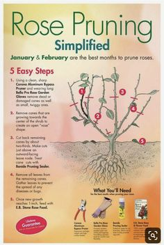 to prune roses properlyhow to prune roses properly Homestead Survivalist: Gardening Tips For Growing Roses - Everything You Need To Know About Growing Roses Rose malady diagram to identify disease within the plant. Train Roses to Produce More Flowers Garden Yard Ideas, Lawn And Garden, Garden Projects, Garden Decorations, Lee Garden, Trim Rose Bushes, Organic Gardening, Gardening Tips, Gardening Scissors
