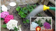 1 vetvička zaplní celú záhradu: Začínala som s jedným malým kríkom a teraz môžem hortenzie aj predávať – kvitnú ako divé! Plants, Gardening, Belle, Lawn And Garden, Plant, Planets, Horticulture