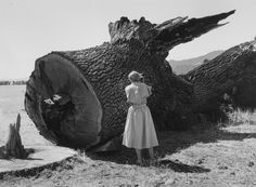 Dorothea Lange photographing tree, Pirkle Jones. (1914 - 2009)