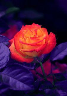 خلفيات ايفون ورد اصفر Iphone Wallpapers Download Beautiful Roses Beautiful Rose Flowers Rose