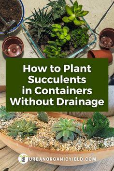 Succulent Outdoor, Succulent Planter Diy, Succulent Gardening, Succulent Care, Indoor Gardening, Indoor Plants, Succulent Landscaping, Air Plants, Replanting Succulents