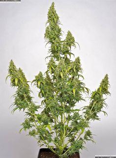 Dutch Passion AutoBluebbery: Kind Marijuana that Races to the finish http://original-ssc.com