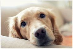 Goldens have this look u can't resist.