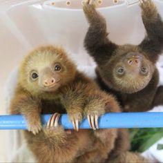 Aww sloths :)