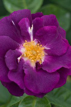 ~Floribunda Rose 'Rhapsody in Blue'