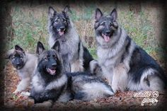 Welcome to Catoctin Shiloh Shepherds! Breeding supreme quality Shilohs for over 25 years. Australian Shepherds, German Shepherds, Long Coat German Shepherd, German Shepherd Puppies, West Highland Terrier, Scottish Terrier, Rottweiler, Shiloh Shepard, Husky