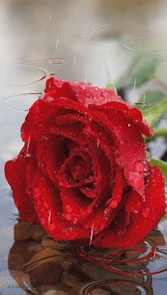 Red Rose in the Rain Flowers Gif, Pretty Flowers, Roses Gif, Ronsard Rose, Glitter Graphics, Beautiful Roses, Red Roses, Dahlia, Things To Come