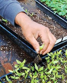Seed Starting Secrets from a Greenhouse Professional: Part 2 - How we Transplant Vegetable Plugs Greenhouse Gardening, Container Gardening, Garden Seeds, Garden Plants, Organic Gardening, Gardening Tips, Mother Earth News, Farm Gardens, Seed Starting